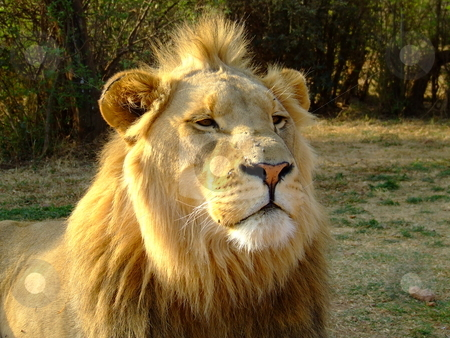 Bad hair day stock photo, Young lion as king of the pride, with a spiky mane by Chris Alleaume