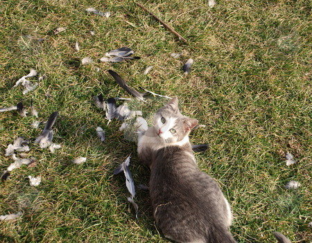 Cat hunter stock photo, Gray domestic cat outdoor after eating pigeon by Julija Sapic