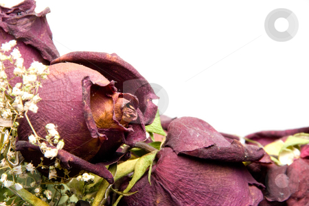 Dead Roses stock photo, A bouquet of less than fresh dead roses. by Robert Byron