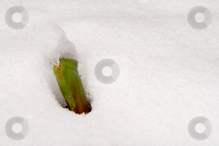 Tulip Sprout in the Snow stock photo, A young tulip sprout poking through the snow. by Robert Byron