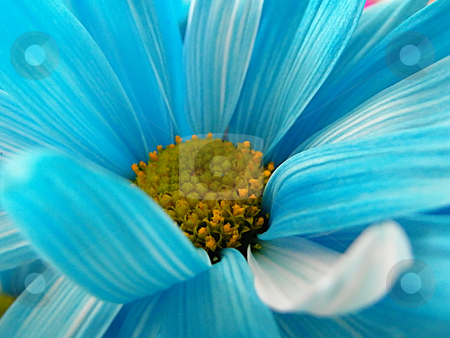 Neon Blue Daisy stock photo, Neon Blue Daisy by Dazz Lee Photography