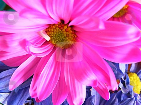 Hot Pink Daisy (Macro) stock photo, Hot Pink Daisy (Macro) by Dazz Lee Photography