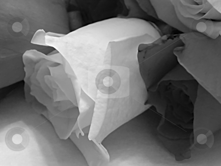 Shades of Cut Roses stock photo, Shades of Cut Roses, Greyscale. Close up (macro) of white rose beside a red rose which are within a bunch of cut roses setting upon floral paper. by Dazz Lee Photography