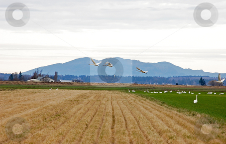 Three Snow Geese Taking Flight in Field stock photo, Three snow geese are taking flight over rows of a field with a beautiful mountain range in the background. by Valerie Garner