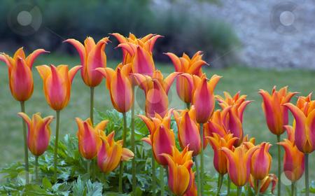 Orange tulips stock photo, Close up of orange tulips on green background by Pavel Cheiko