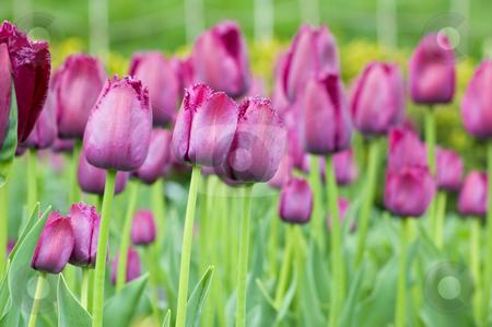 Tulip stock photo, Close up of raspberry pink tulip on dark background by Pavel Cheiko