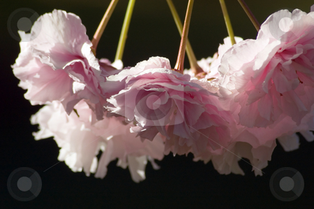 Cherry stock photo, Pink Cherry blossom against blur background by Pavel Cheiko