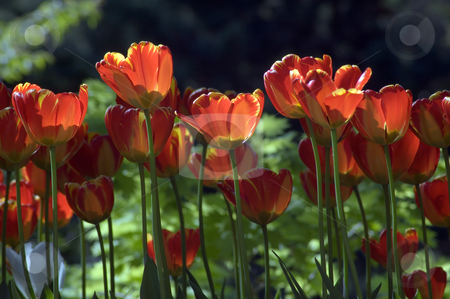 Tulips stock photo, Close up of red pink tulip on dark background by Pavel Cheiko