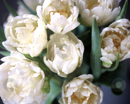 White Eastern stock photo, Art Image, White Tulips in an elegant Close up,4134x3313 Pixel, 39,2 MB, 300 dpi by Ute Wingenfeld
