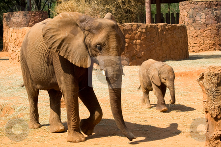Elephants stock photo, Elephants, father and child, at Korat Zoo, Thailand. by Pawee Lorsuwannarat