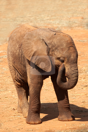 Baby Elephant stock photo, A cute baby elephant at Korat Zoo, Thailand. by Pawee Lorsuwannarat
