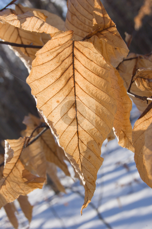 Dry leaves stock photo, Dry leaves in winter on snow background. by Pavel Cheiko