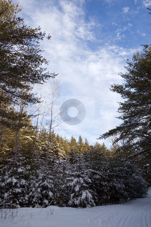 Winter stock photo, Ski tracks in spruce forest in sunny day by Pavel Cheiko