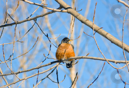 American robin stock photo, American robin on the tree branch by Pavel Cheiko
