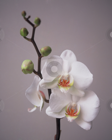 Clean white Beauty stock photo, Branch of an White Orchid in a half Close up on grey Background, 3543x4422 Pixel,  44,8 MB, 300 dpi by Ute Wingenfeld