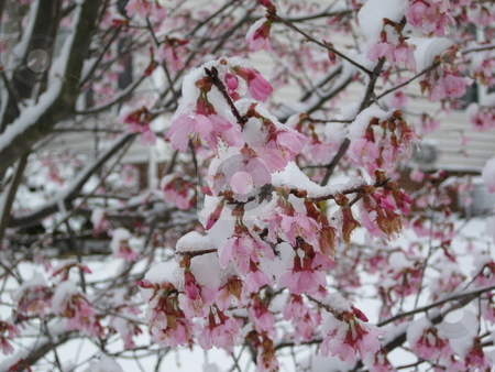 Cherry Ice Blossoms stock photo, Cherry Tree with snow and ice by Barbara Wells