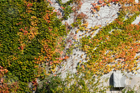 Ivy on wall stock photo, Ivy on a wall, in the fall, changing colors. by Kevin Woodrow