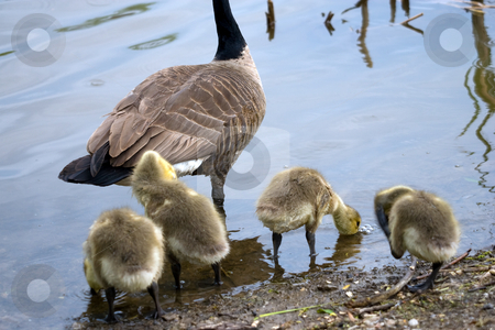 Goslings and parent stock photo, A number of goslings at waters edge, with a parent nearby. by Kevin Woodrow