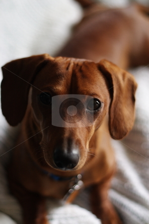 Dachshund pose stock photo, A miniature dachshund posing on a white blanket. by Kevin Woodrow