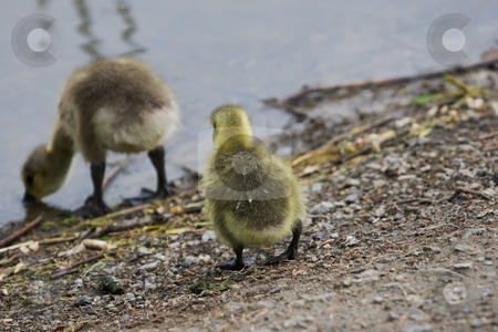 Goslings by the water stock photo, Two goslings at shores edge, one drinking. by Kevin Woodrow