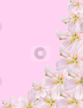 Lilium border stock photo, Pink lilium border isolated on pink background by Desislava Dimitrova