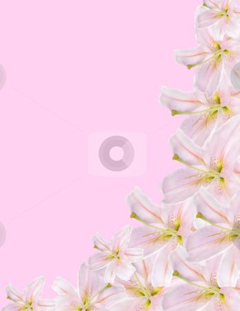 Lilium border stock photo, Pink lilium border isolated on pink background by Desislava Dimitrova