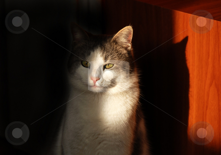 Cat eye in sunlight stock photo, White gray cat indoor in light and shadow by Julija Sapic