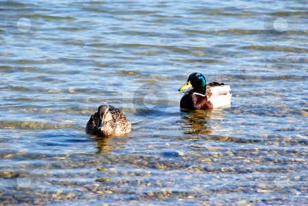 Duck couple on water stock photo, Male and female duck over silver river by Julija Sapic
