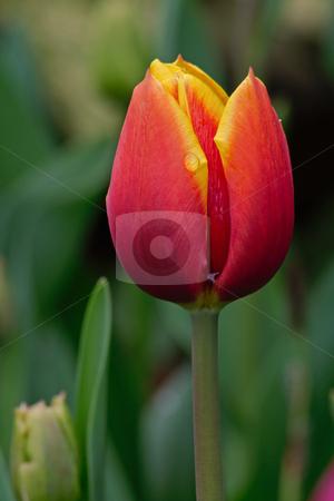 Tulips stock photo, Tulips field photographed in palms garden in Frankfurt, Hessen, Germany by Manuela Schueler