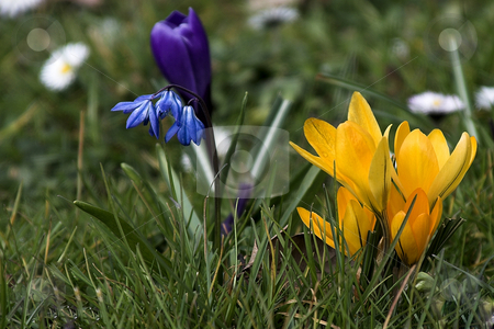 Crocus stock photo, Spring with yellow crocus in Germany (February 2008) by Manuela Schueler