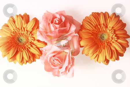 Lined up stock photo, Two horizontal orange Gerbera and two vertical soft pink Fabric Roses with white Background,3543x2360 Pixel, 24,0 MB, 300 dpi by Ute Wingenfeld