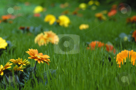 Flowers in the grass stock photo, A lush green pasture, with colourful flowers growing all over it. A shallow depth of field gives an abstract feel to the image. by Alistair Scott