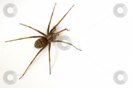 Common House Spider stock photo, A common house spider (Tegenaria gigantea) isolated on a white background. by Alistair Scott