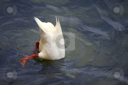 Bottoms up! stock photo, A white duck dabbling for weeds in a lake. by Alistair Scott