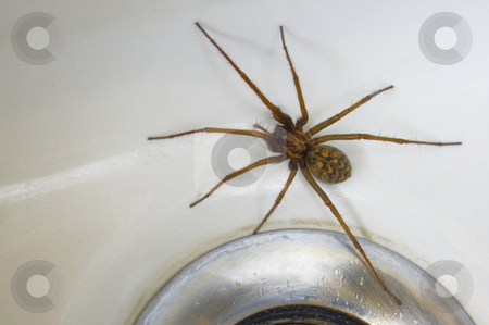 Spider in the bath stock photo, A common house spider (Tegenaria gigantea) trapped in the bath. Space for text on the white of the porcelain. by Alistair Scott