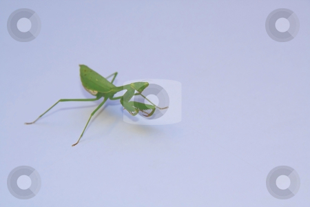 Giant Green African Mantis stock photo, Birght green giant praying mantis isolated on white by Chris Alleaume