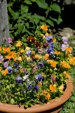 Potted Flowers stock photo, Terra Cotta Pot with a mixture of colorful flowers. by Kevin Woodrow