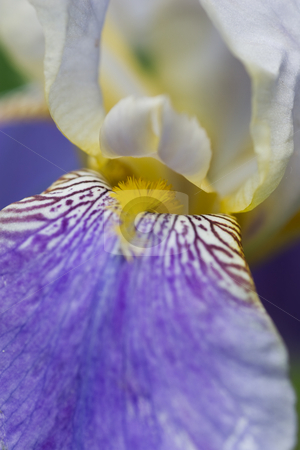 Bearded Iris stock photo, Closeup of a Bearded Iris. by Kevin Woodrow