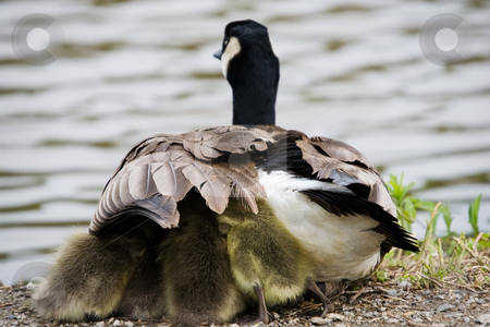 Protection from the elements stock photo, A Canada Goose with goslings taking shelter under its wing. by Kevin Woodrow