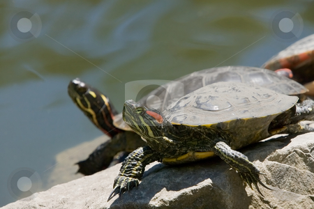 Turtles at attention stock photo, 2 turtles in the foreground, on rocks, with their heads held high. by Kevin Woodrow