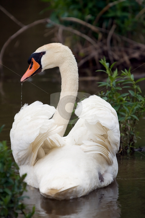 Perfect Swan pose stock photo, A white swan, with a trickle of water coming from its beak. by Kevin Woodrow