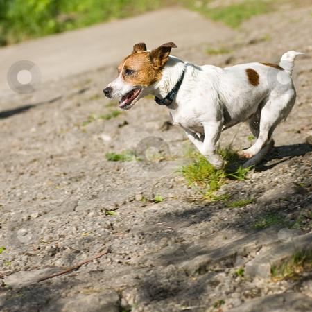 Jack Russel Terrier running full speed stock photo, A small Jack Russel Terrier running along, at full speed. by Kevin Woodrow