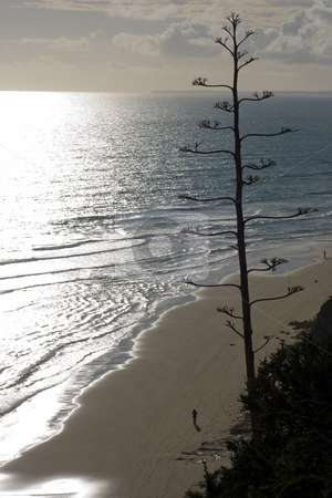 Bare Tree overlooking beach stock photo, A bare backlit tree overlooking the beaches and ocean below as the sun sets. by Kevin Woodrow