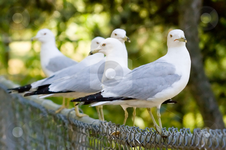 Seagulls Perched on a Fence stock photo, A bunch of seagulls perched along a black fence. by Kevin Woodrow