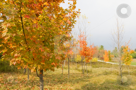 Fall Colors - Horizontal stock photo, Fall colors in a park with trees at various distances. by Kevin Woodrow