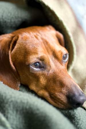All Wrapped up stock photo, Head of a Miniature Dachshund visible, the rest being covered by blankets. by Kevin Woodrow