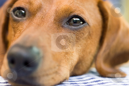 Dachshund dog closeup stock photo, A Miniature Dachshund Face which fils the entire frame, tightly focused on the eyes. by Kevin Woodrow