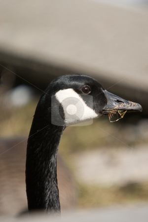 Canada Goose close-up stock photo, Closeup of the head and neck of a Canada goose. by Kevin Woodrow