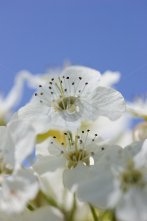 Focus on Anthers stock photo, Bright white crab apple flowers, focus on the anthers, with blue sky in the background. by Kevin Woodrow