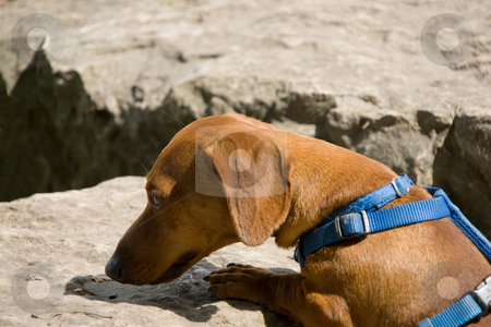 Dachshund sniffing rock stock photo, A miniature dachshund with a blue harness sniffing at something on a boulder. by Kevin Woodrow